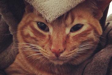 布団にくるまれた寝起きの猫の写真