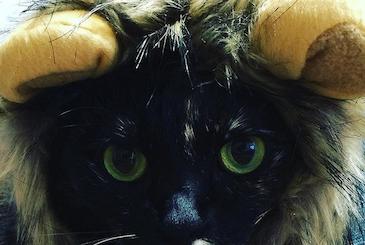 ライオンの帽子を被った猫