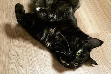 お腹を出して何かを見つめる猫の写真