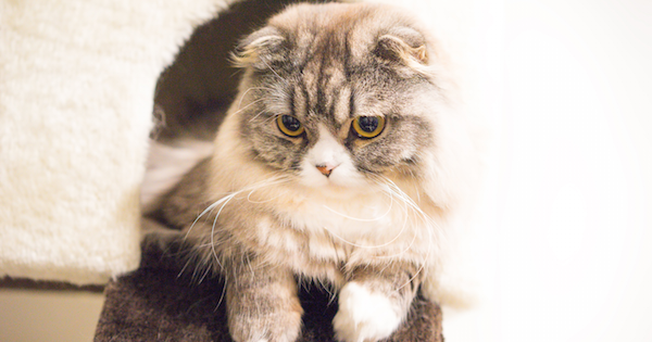 Scottish Fold2