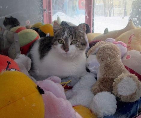 なんとUFOキャッチャーの中でくつろぐ猫が発見される!