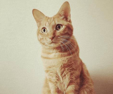 耳を正面に向けて凝視している猫の写真