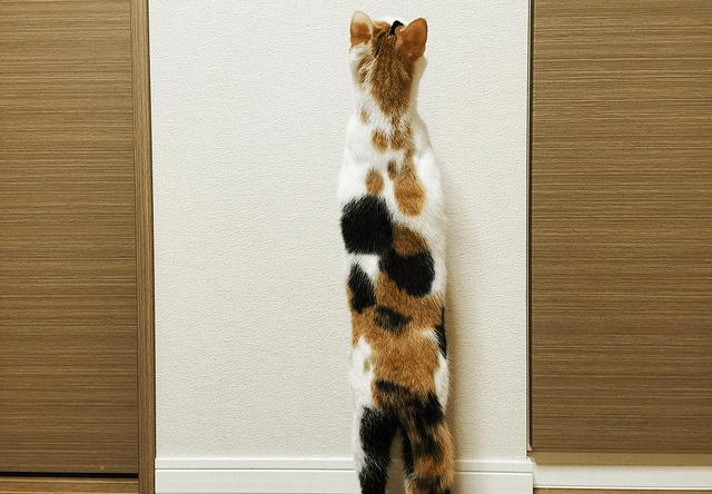 立ち上がる三毛猫の写真