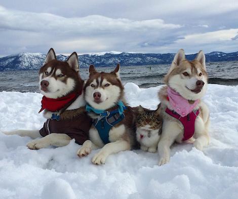 3匹のシベリアン・ハスキーと一緒に暮らす猫が可愛すぎる!