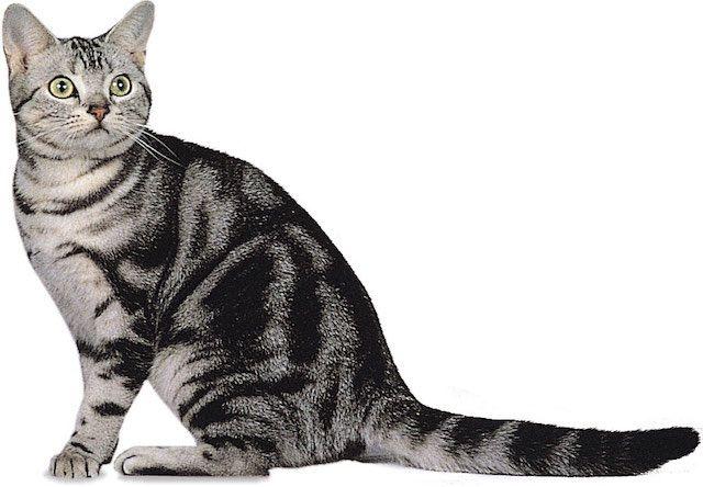 アメリカンショートヘア(American Shorthair) - 猫の種類&図鑑