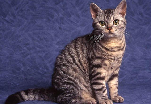 アメリカンワイヤーヘア(American Wirehair) - 猫の種類&図鑑