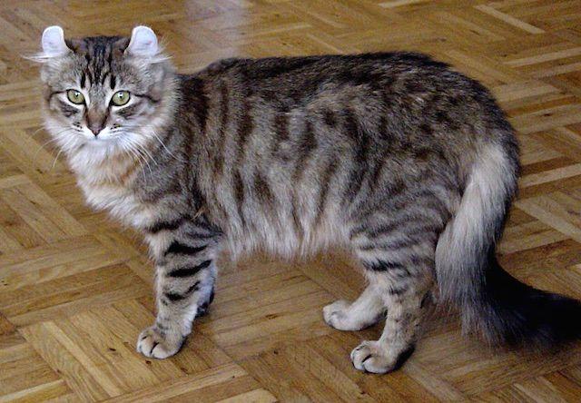 アメリカンカール(Ameriican Curl) - 猫の種類&図鑑
