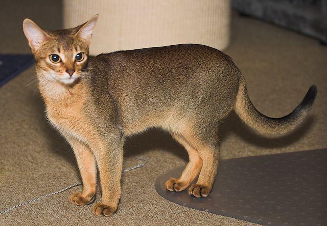 アビシニアン(abyssinian) - 猫の種類&図鑑