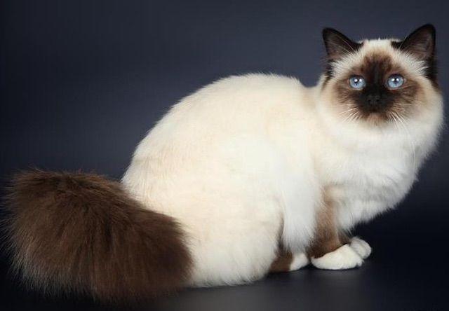 バーマン(Birman) - 猫の種類&図鑑