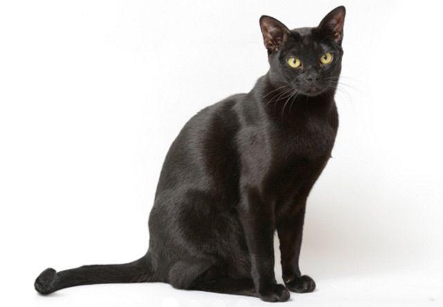 ボンベイ(Bombay) - 猫の種類&図鑑