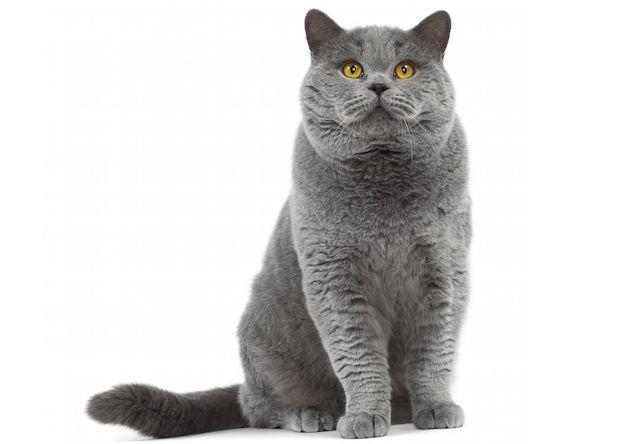 ブリティッシュショートヘア(British Shorthair) - 猫の種類&図鑑