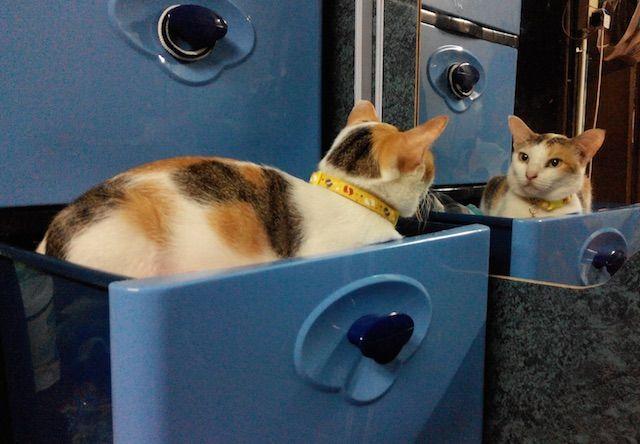 猫は鏡に写った自分を見るとどんな反応をするのか?
