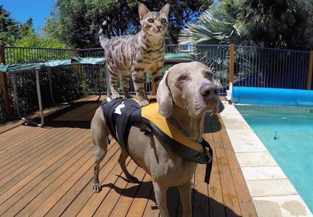 犬の背中を使ってサーフィンをする猫の動画が話題に!
