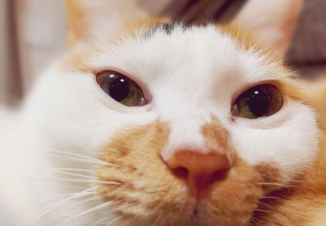 目がウルウルした三毛猫 - 猫の写真素材