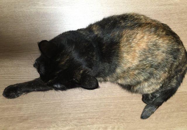 座ってくつろぐサビ猫を真上から撮影 - 猫の写真素材