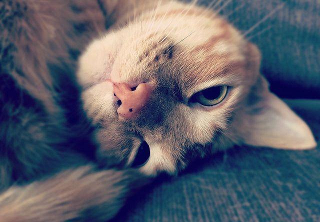 頭を逆さにしながら睨んでくる猫 - 猫の写真素材