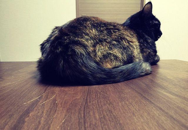 香箱座りでくつろぐ猫の後ろ姿 - 猫の写真素材