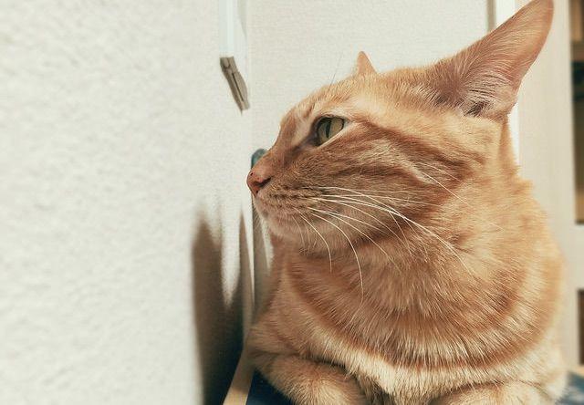 耳を尖らせる茶トラ - 猫の写真素材