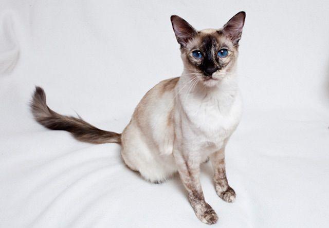 バリニーズ(Balinese) - 猫の種類&図鑑