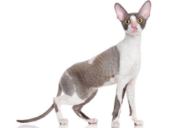 コーニッシュレックス(Cornish Rex) - 猫の種類&図鑑