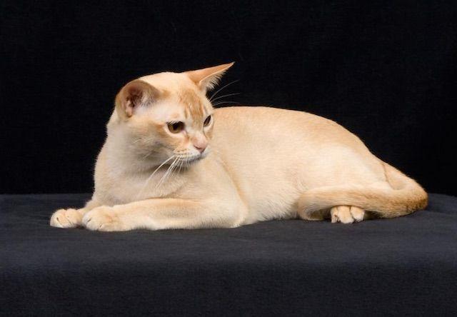 ヨーロピアンバーミーズ(European Burmese) - 猫の種類&図鑑