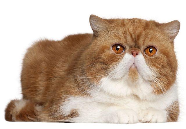 エキゾチックショートヘア(Exotic shorthair) - 猫の種類&図鑑