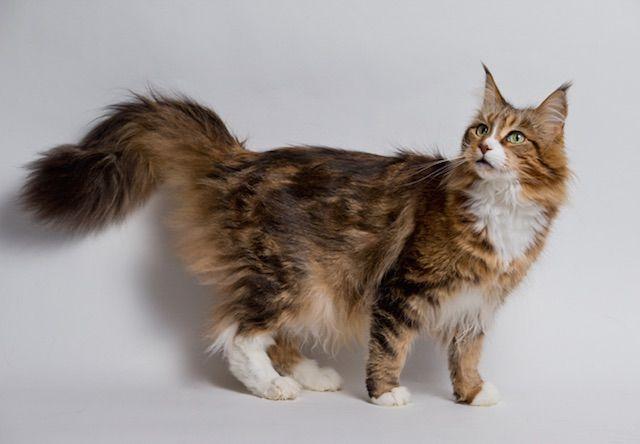 メインクーン(Maine Coon) - 猫の種類&図鑑