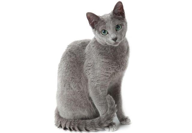 ロシアンブルー(Russian Blue) - 猫の種類&図鑑