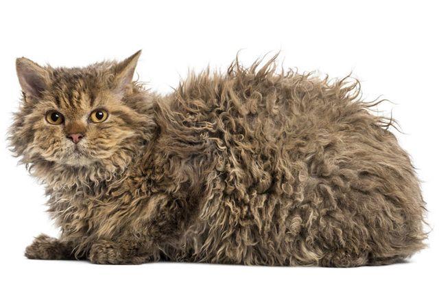 セルカークレックス(Selkirk Rex) - 猫の種類&図鑑
