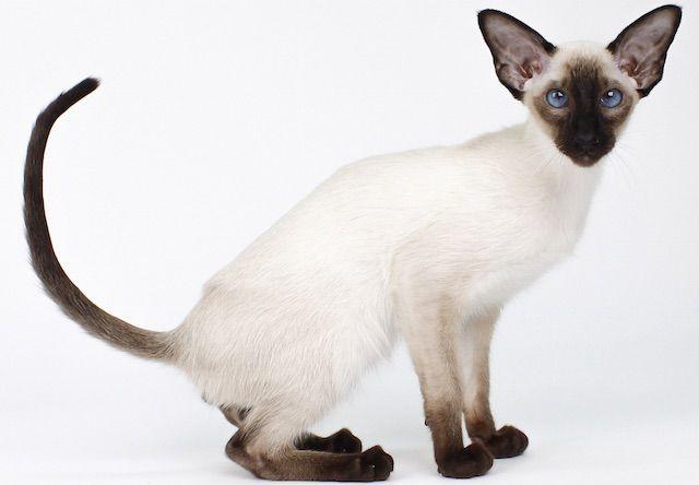 シャム/サイアミーズ(Siamese) - 猫の種類&図鑑