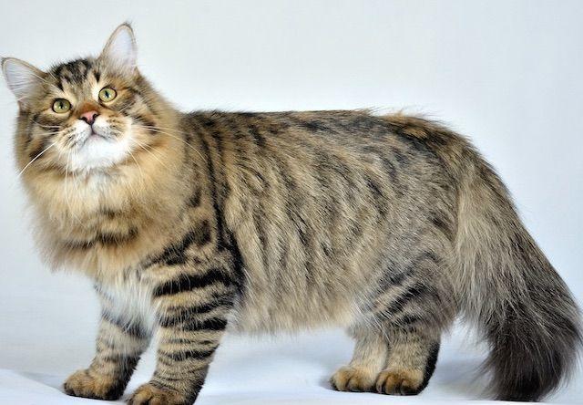 サイベリアン(Siberian) - 猫の種類&図鑑