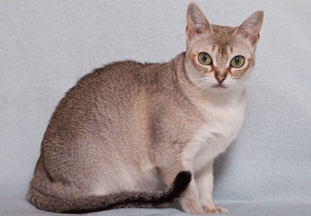 シンガプーラ(Singapura) - 猫の種類&図鑑