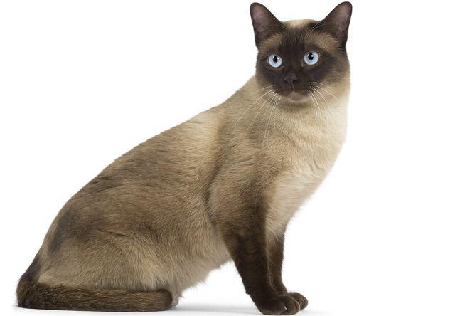 トンキニーズ(Tonkinese) - 猫の種類&図鑑