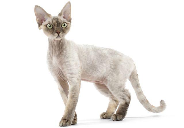 デボンレックス(Devon Rex) - 猫の種類&図鑑