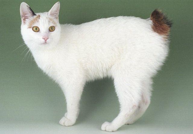 ジャパニーズボブテイル(Japanese Bobtail) - 猫の種類&図鑑