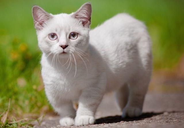 マンチカン(Munchkin) - 猫の種類&図鑑