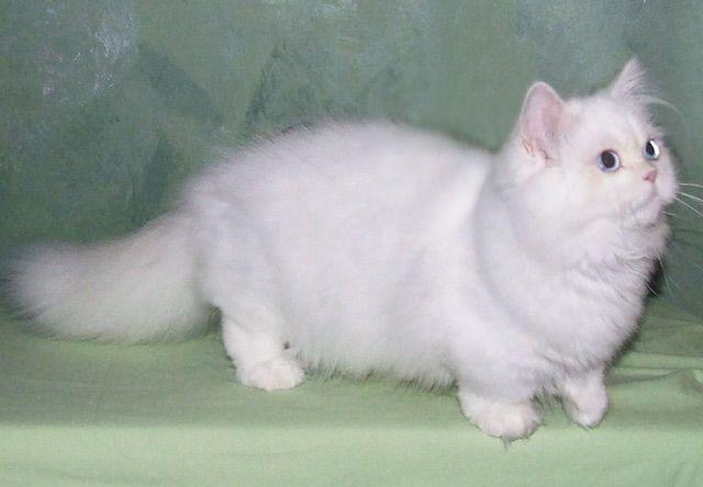 ミヌエット(Napoleon) - 猫の種類&図鑑