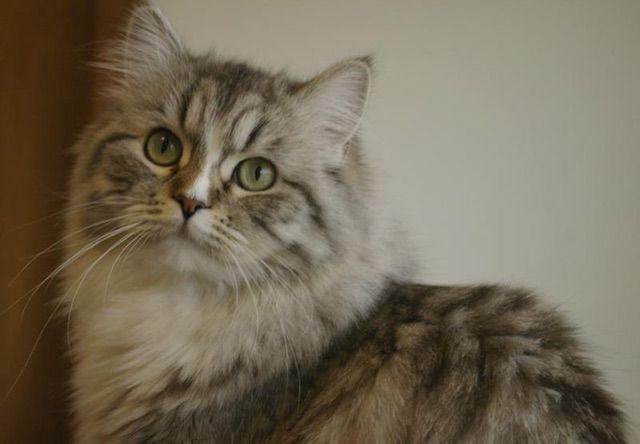 ラガマフィン(Ragamuffin) - 猫の種類&図鑑