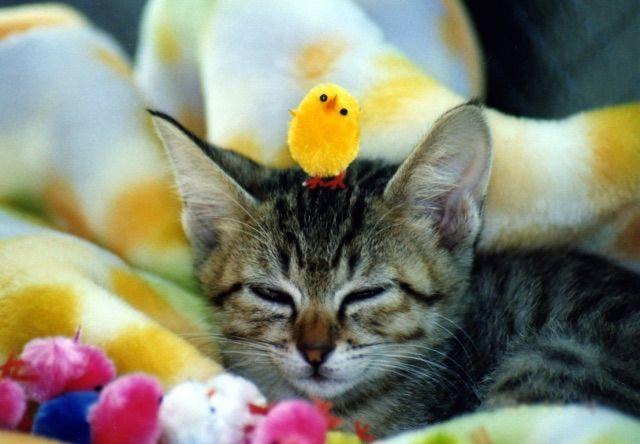 猫とアヒルの愉快&仲良し動画を5つご紹介