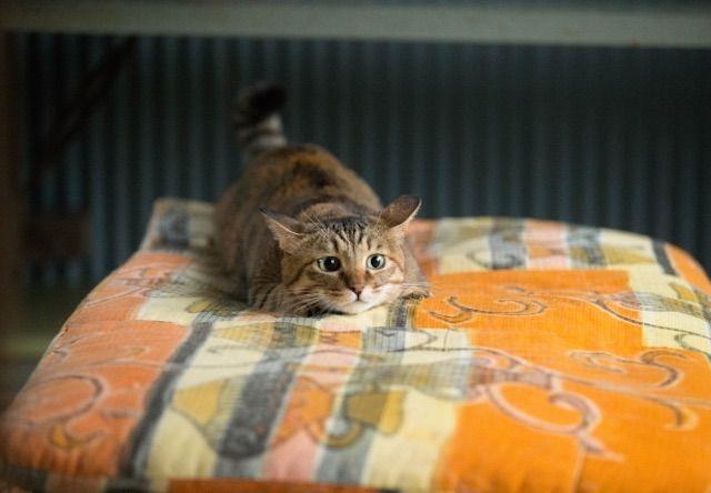 最高に可愛い!お尻をフリフリして獲物を狙う猫の動画10選