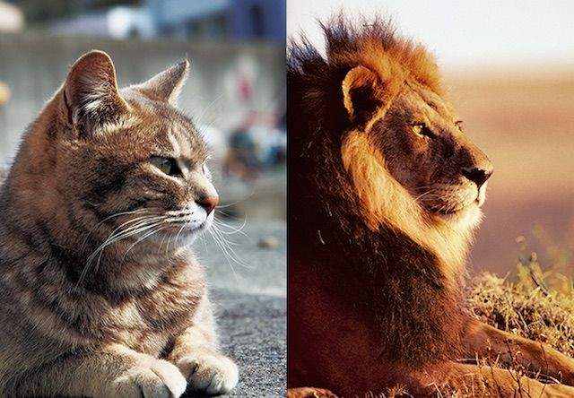 岩合光昭氏の写真展、ネコライオン