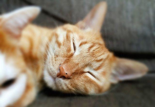 幸せそうな寝顔の茶トラ - 猫の写真素材