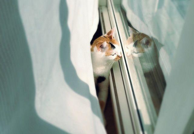 窓ガラスに反射する三毛猫 - 猫の写真素材