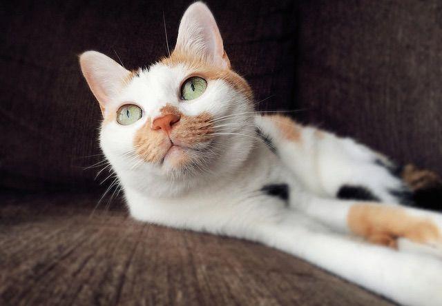 目が点になる三毛猫 - 猫の写真素材