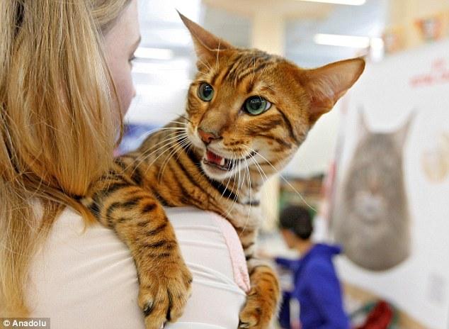 希少猫種のトイガー(Toyger)