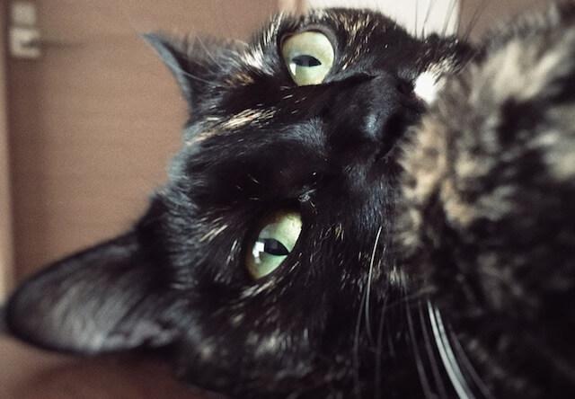 ボーッと天井を見つめる猫 - 猫の写真素材
