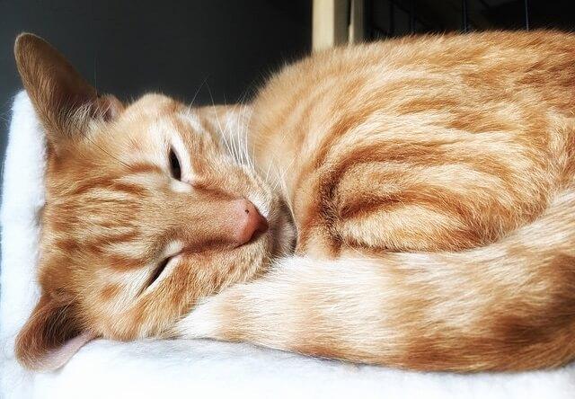 今にも寝そうな猫 - 猫の写真素材