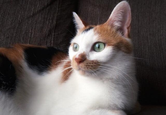見返り美人猫 - 猫の写真素材