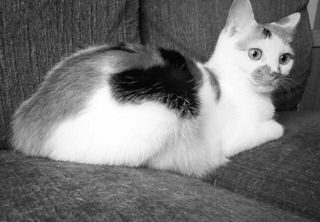 三毛猫のモノクロ写真 - 猫の写真素材