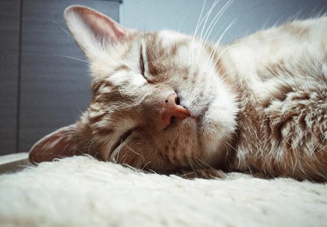 熟睡中の茶トラ - 猫の写真素材